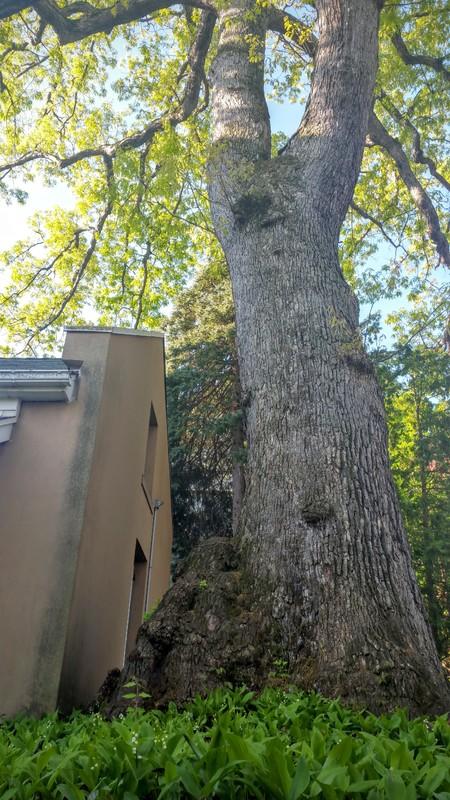 Oak tree, Christmas Saucon Hall