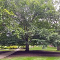 American Beech on the UC Lawn, 2017